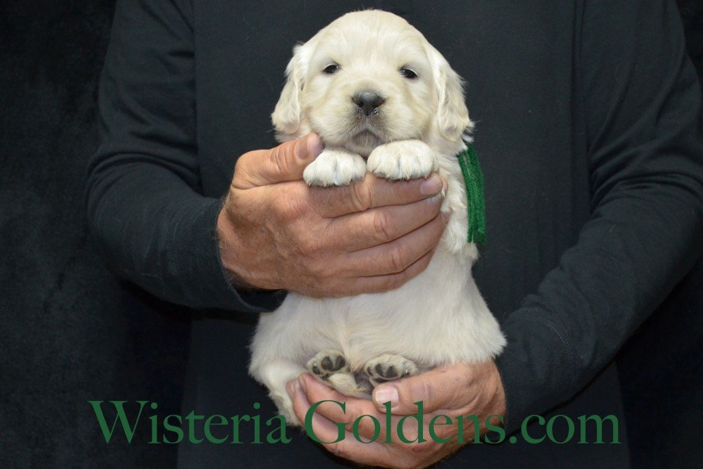 Green Boy - 6.6 lbs 4 weeks pictures Halo-Ego litter born 4-08-2015 English Cream Golden Retriever puppies for sale. Wisteria Goldens