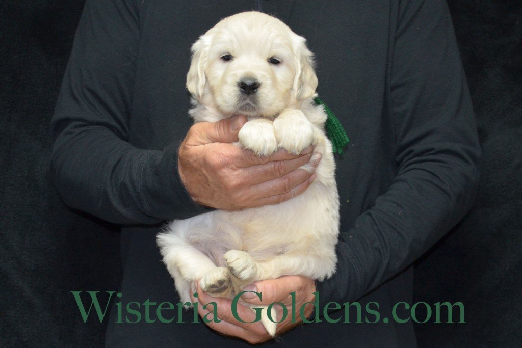 Green Boy - 8.0 lbs Halo/Ego — Born 4/08/2015. 2 girls and 3 boys. Contact us for purchasing your own Wisteria Golden English Cream Golden Retriever puppy! #englishcreamgoldenretriever #puppiesforsale