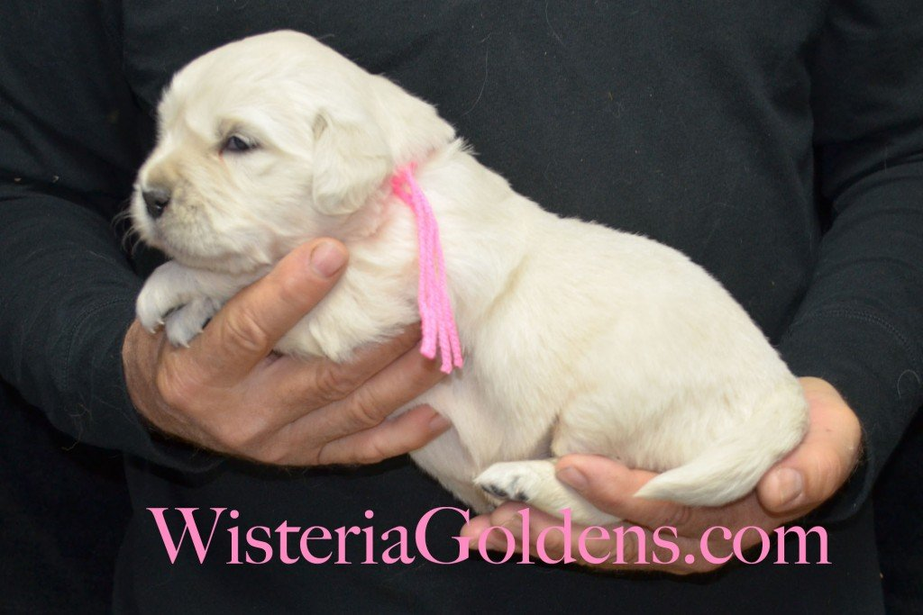 Pink Girl - 4.8 lbs Halo/Ego Litter Born 04/08/2015 2 girls and 3 boys. English Cream Golden Retriever Puppies