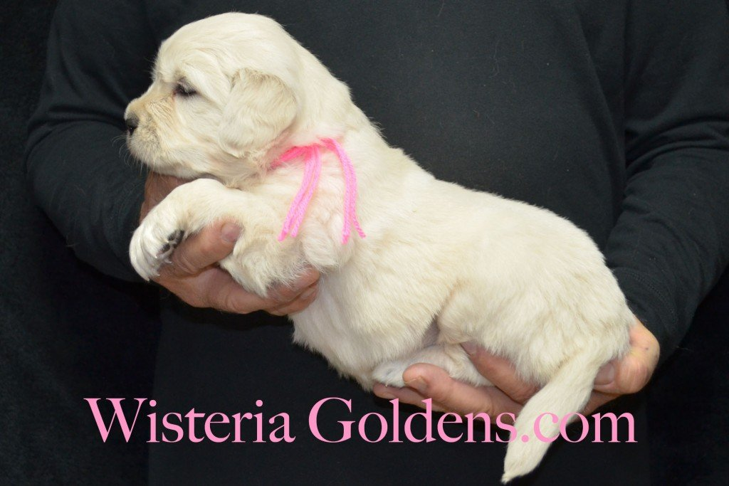 Pink Girl - 6.2 lbs 4 weeks pictures Halo-Ego litter born 4-08-2015 English Cream Golden Retriever puppies for sale. Wisteria Goldens