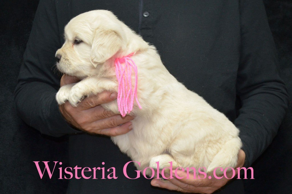 Pink Girl - 7.8 lbs Halo/Ego — Born 4/08/2015. 2 girls and 3 boys. Contact us for purchasing your own Wisteria Golden English Cream Golden Retriever puppy! #englishcreamgoldenretriever #puppiesforsale