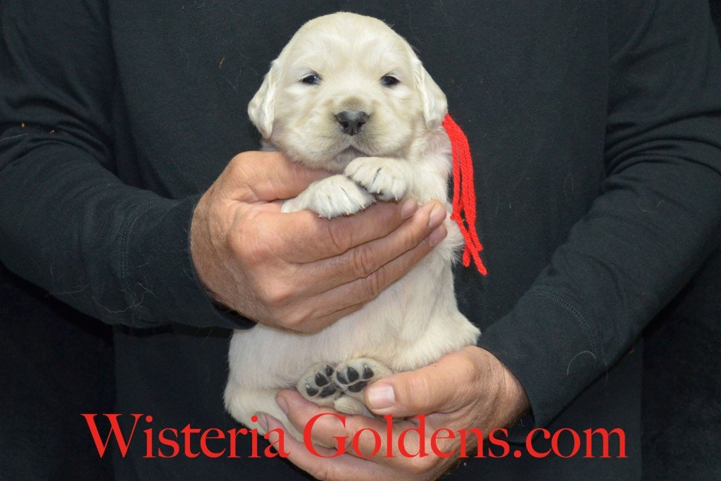 Red Boy - 5.4 lbs Halo/Ego Litter Born 04/08/2015 2 girls and 3 boys. English Cream Golden Retriever Puppies