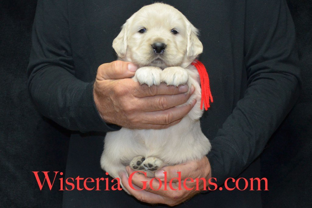 Red Boy - 7.2 lbs 4 weeks pictures Halo-Ego litter born 4-08-2015 English Cream Golden Retriever puppies for sale. Wisteria Goldens