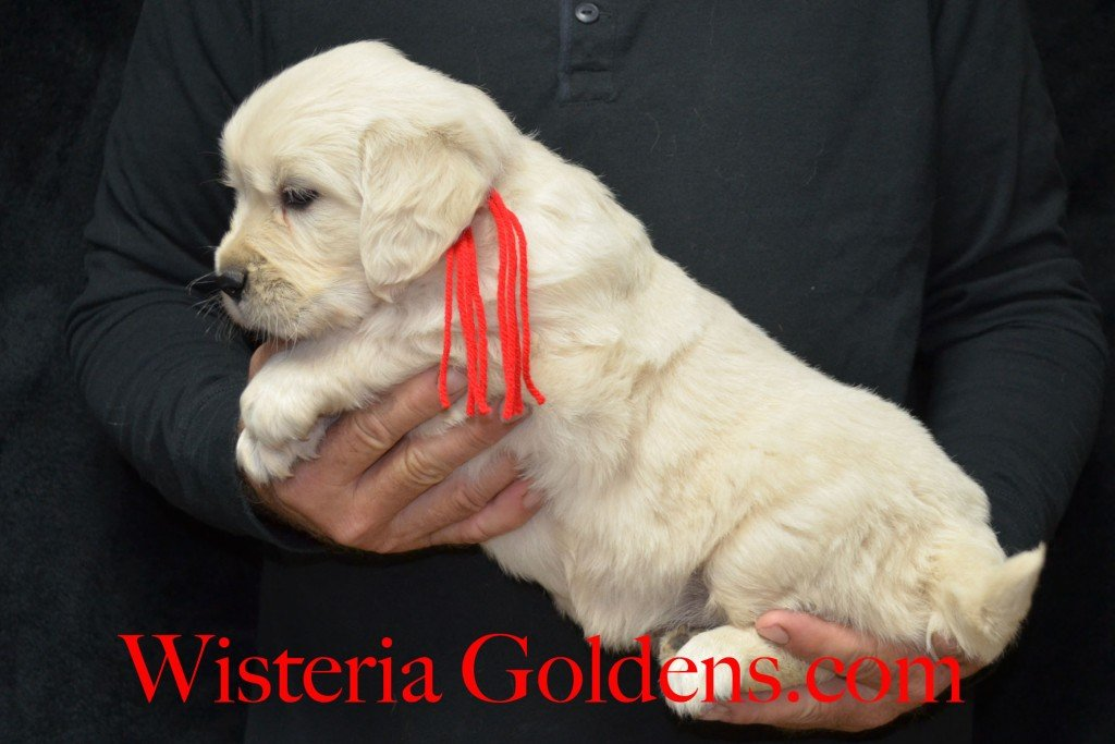 Red Boy - 8.4 lbs Halo/Ego — Born 4/08/2015. 2 girls and 3 boys. Contact us for purchasing your own Wisteria Golden English Cream Golden Retriever puppy! #englishcreamgoldenretriever #puppiesforsale