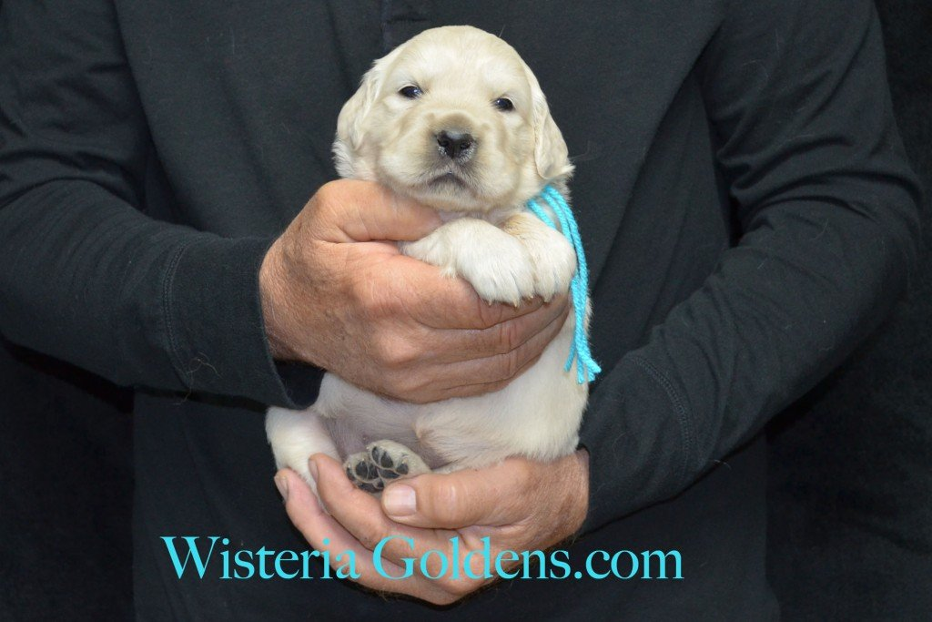 Teal Girl - 4.6 lbs Halo/Ego Litter Born 04/08/2015 2 girls and 3 boys. English Cream Golden Retriever Puppies