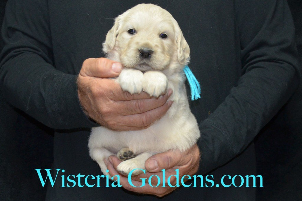 Teal Girl - 6.0 lbs 4 weeks pictures Halo-Ego litter born 4-08-2015 English Cream Golden Retriever puppies for sale. Wisteria Goldens