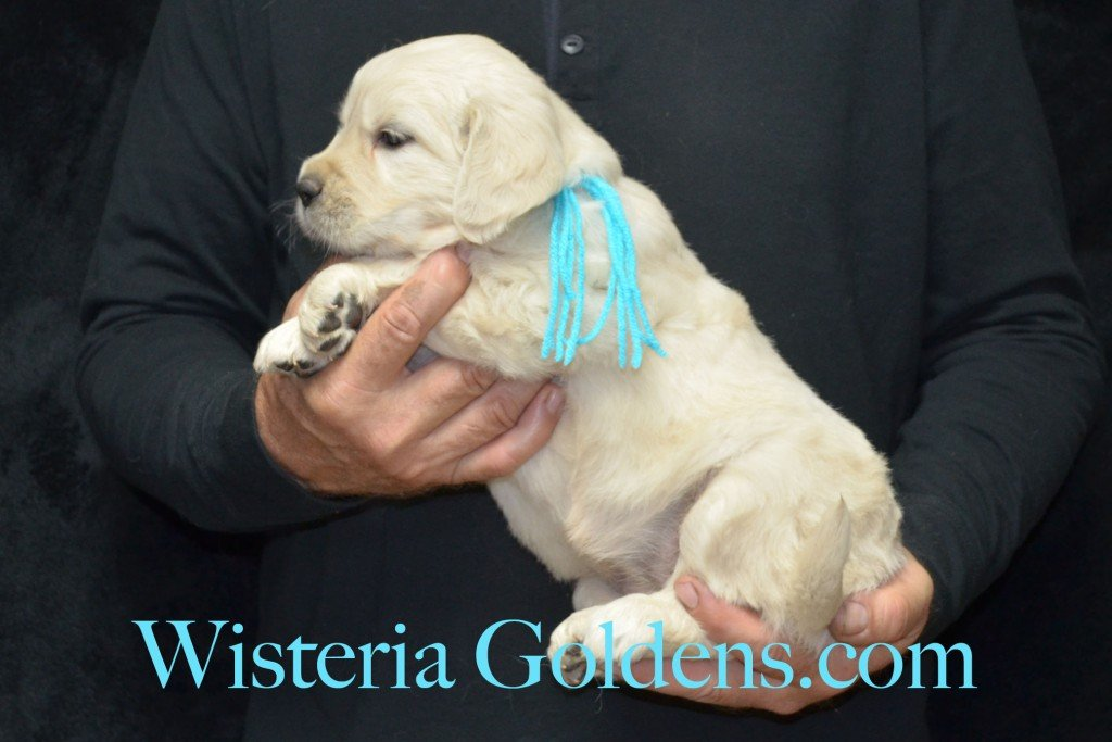 Teal Girl - 7.2 lbs Halo/Ego — Born 4/08/2015. 2 girls and 3 boys. Contact us for purchasing your own Wisteria Golden English Cream Golden Retriever puppy! #englishcreamgoldenretriever #puppiesforsale