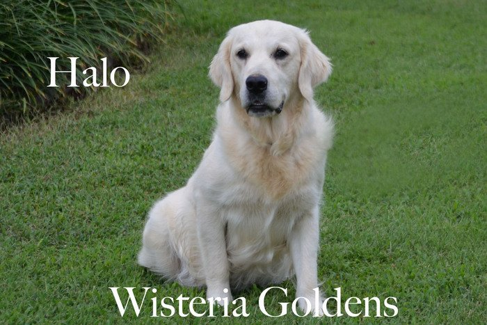 Halo_0277-faith-full-english-creme-golden-retriever-wisteria-goldens