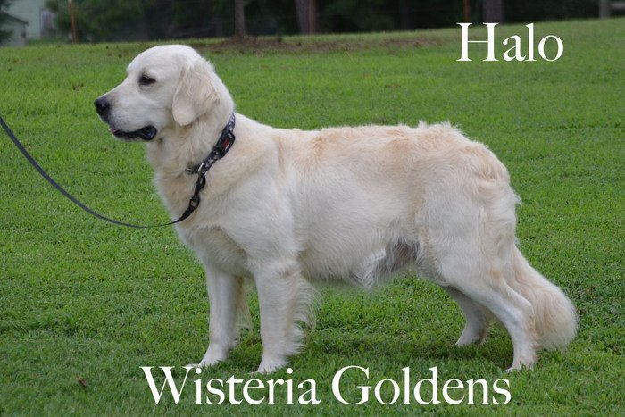 Halo_0284-faith-full-english-creme-golden-retriever-wisteria-goldens