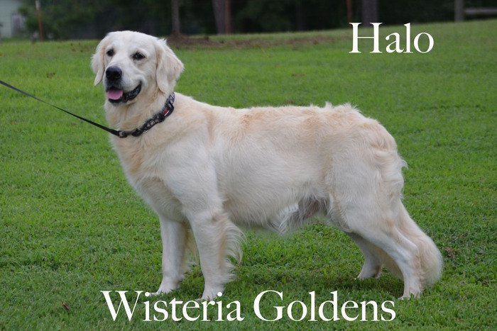 Halo_0295-faith-full-english-creme-golden-retriever-wisteria-goldens
