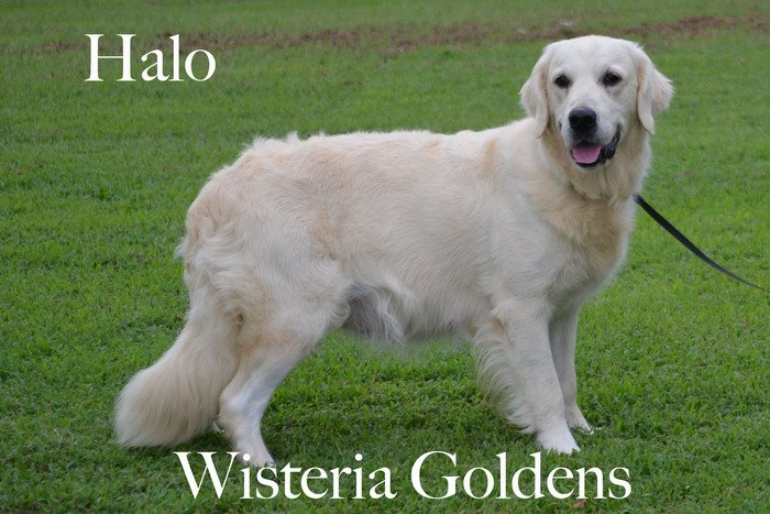 Halo_0300-faith-full-english-creme-golden-retriever-wisteria-goldens