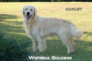 Harley-007A-harley-full-english-creme-golden-retriever-wisteria-goldens