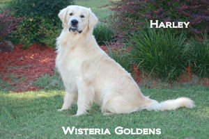 Harley-012A-harley-full-english-creme-golden-retriever-wisteria-goldens