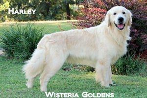Harley-020A-harley-full-english-creme-golden-retriever-wisteria-goldens