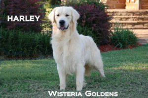 Harley-041A-harley-full-english-creme-golden-retriever-wisteria-goldens