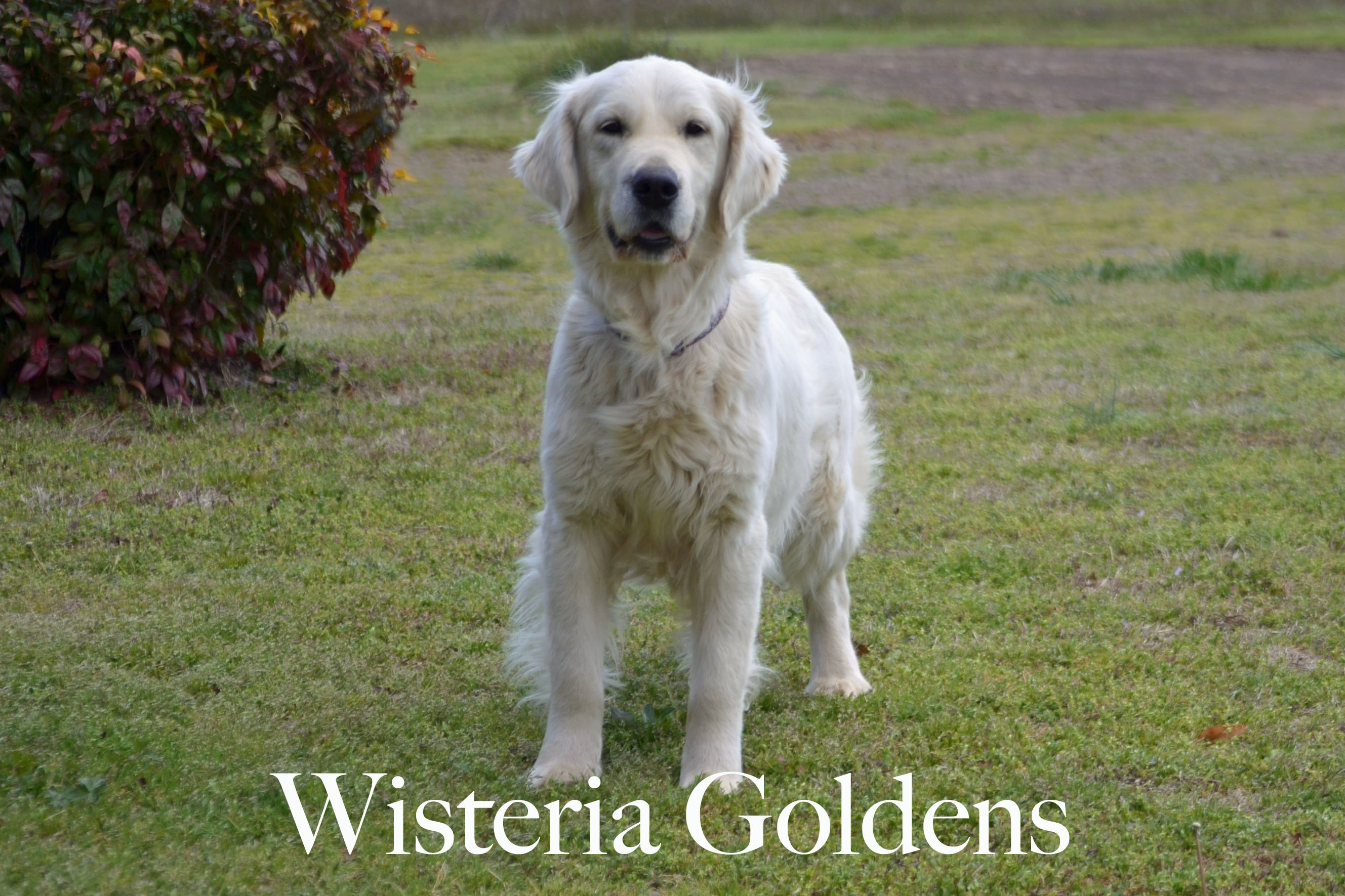 Harmony-1-harmony-full-english-creme-goldens-retrievers-wisteria-goldens