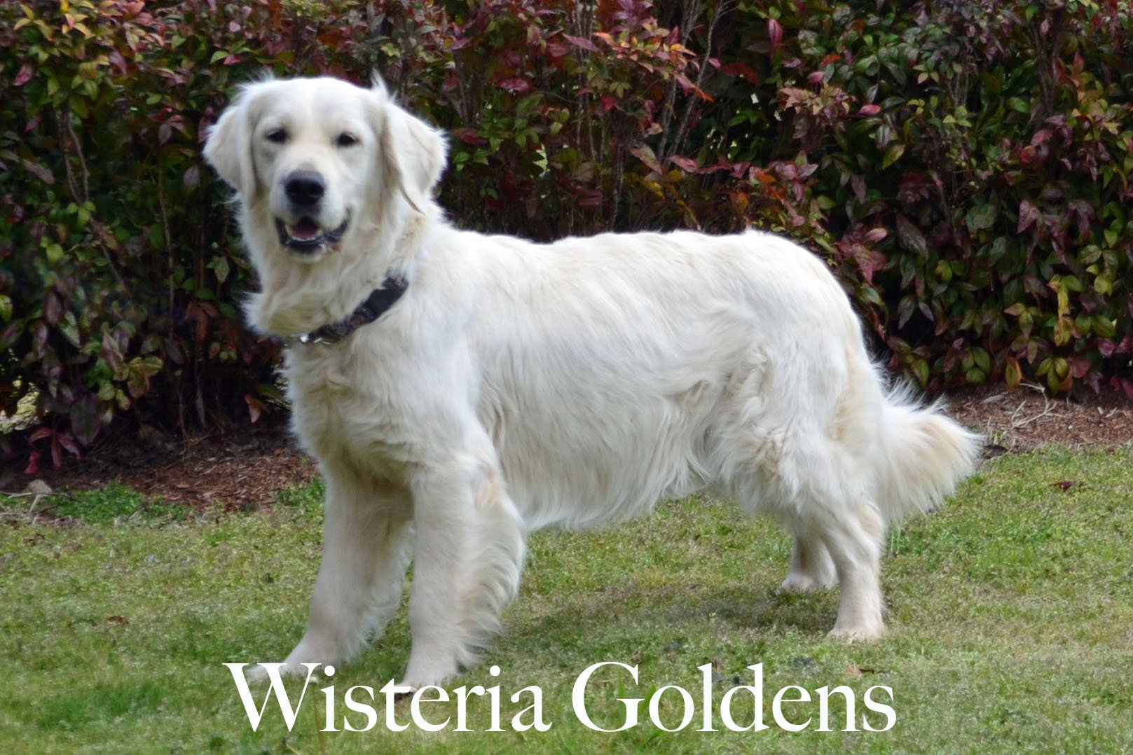 Harmony-2-harmony-full-english-creme-goldens-retrievers-wisteria-goldens