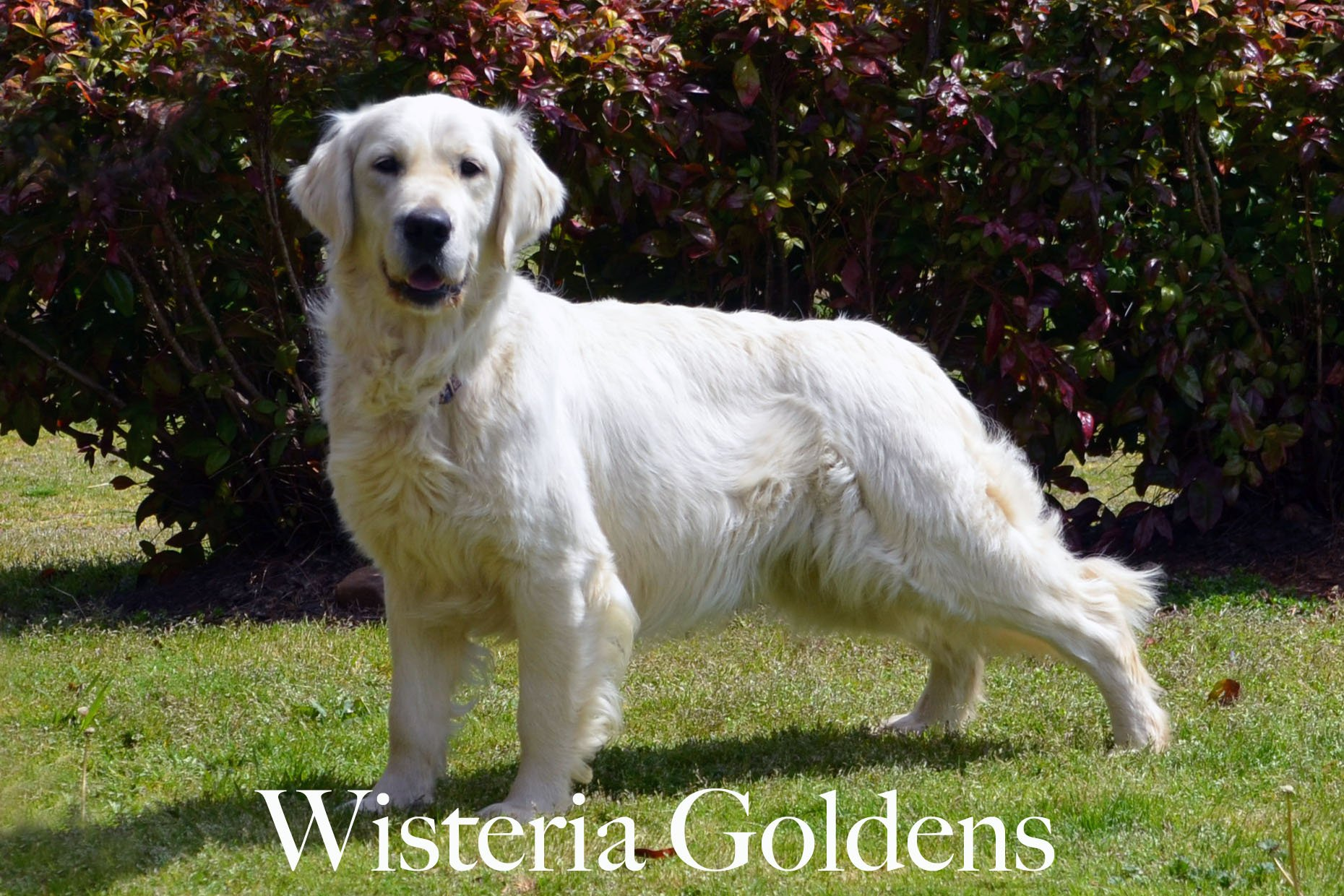 Harmony-3-harmony-full-english-creme-goldens-retrievers-wisteria-goldens
