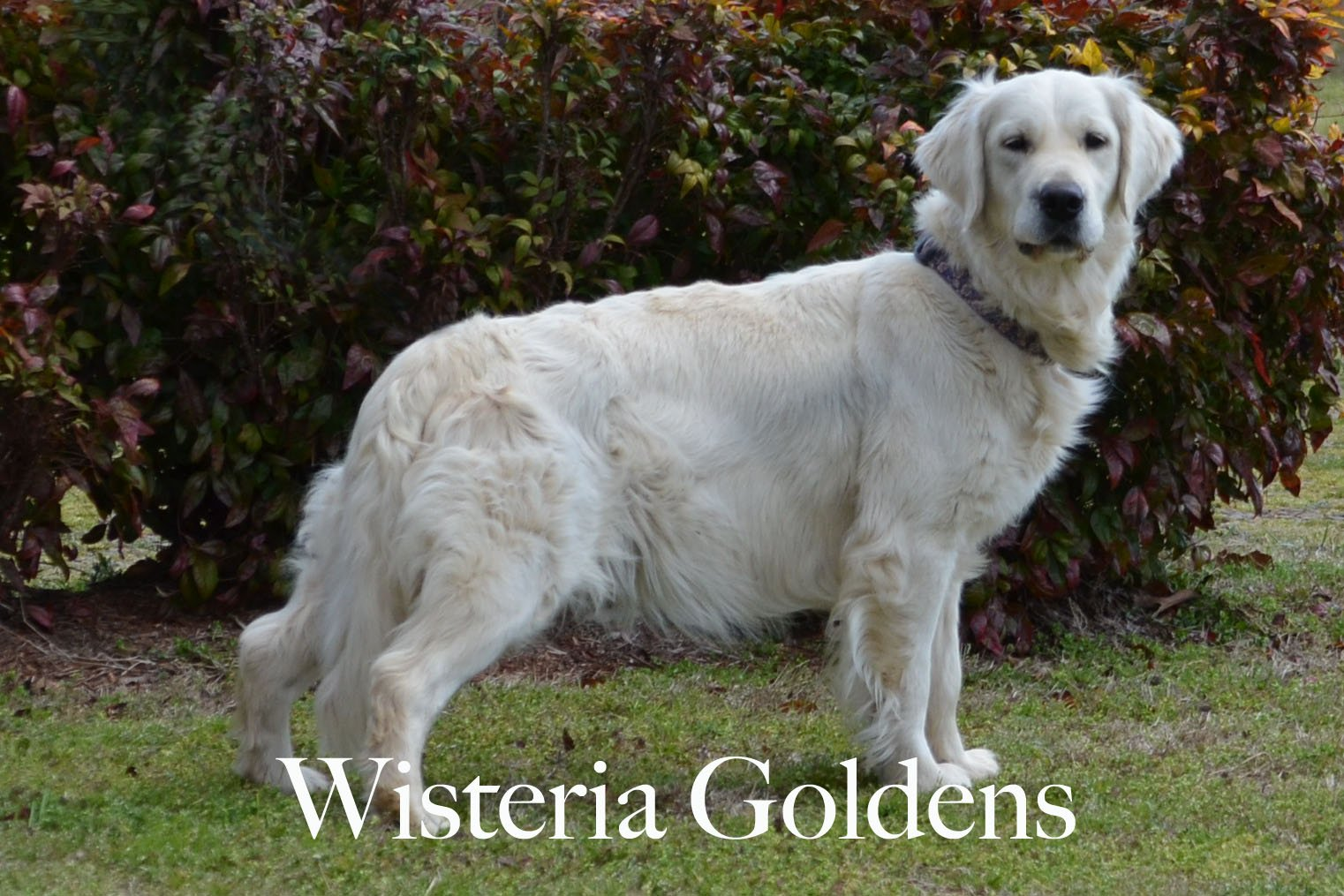 Harmony-4-harmony-full-english-creme-goldens-retrievers-wisteria-goldens