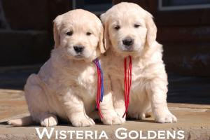 Wisteria Goldens Families Honey-Group-Boys-6-Wks_156