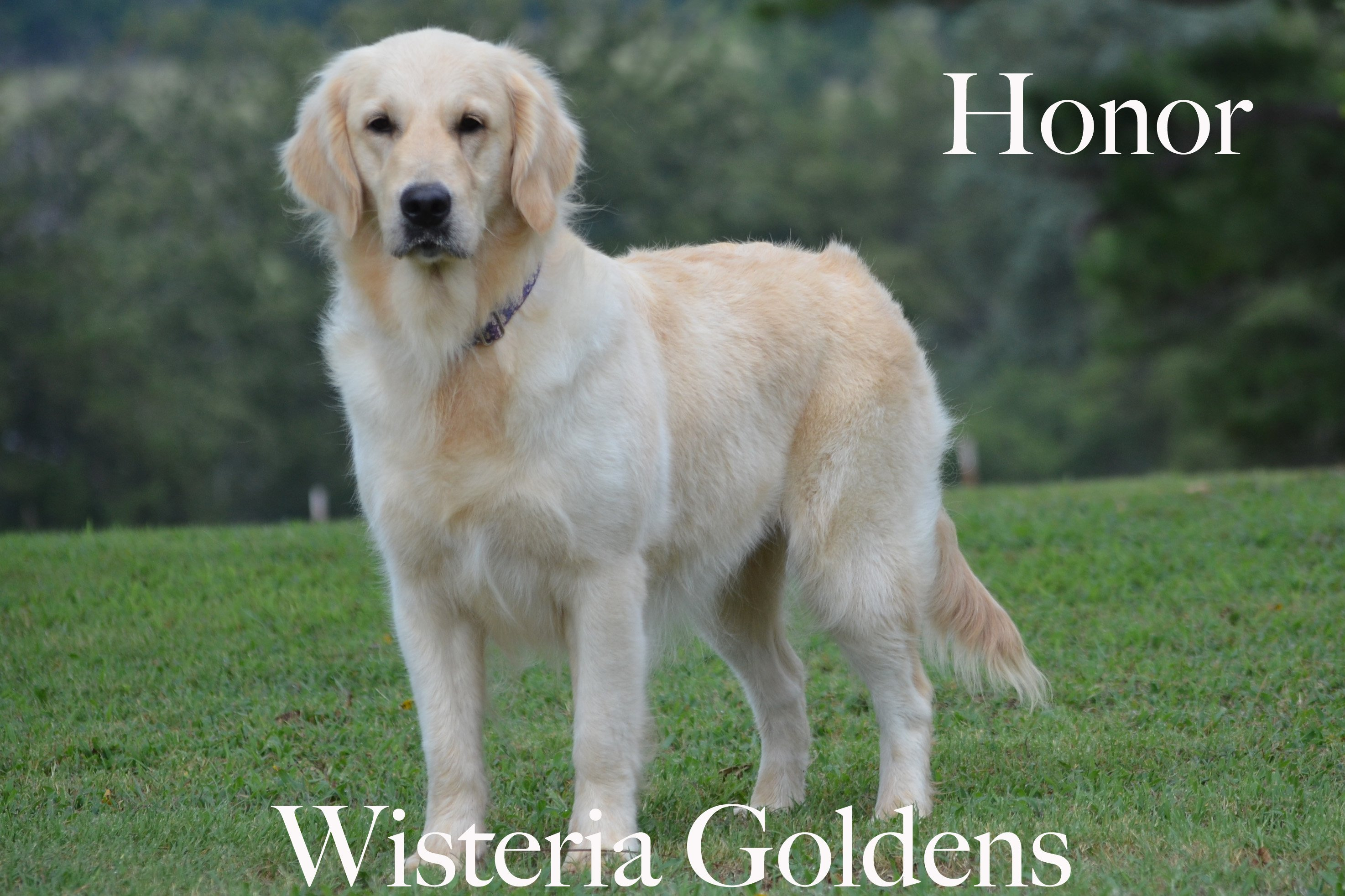Honor_0145-full-english-creme-golden-retriever-wisteria-goldens