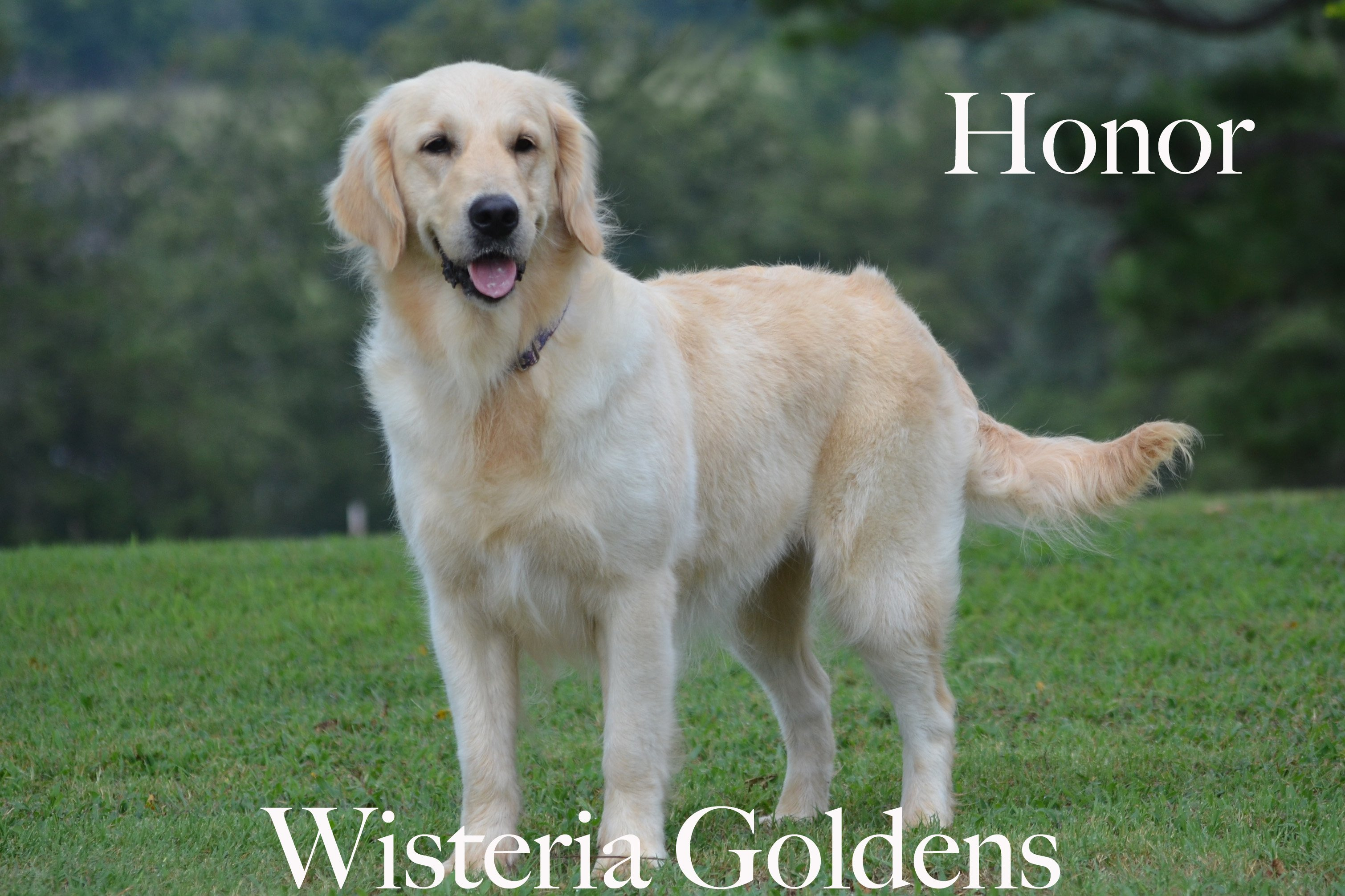 Honor_0149-full-english-creme-golden-retriever-wisteria-goldens