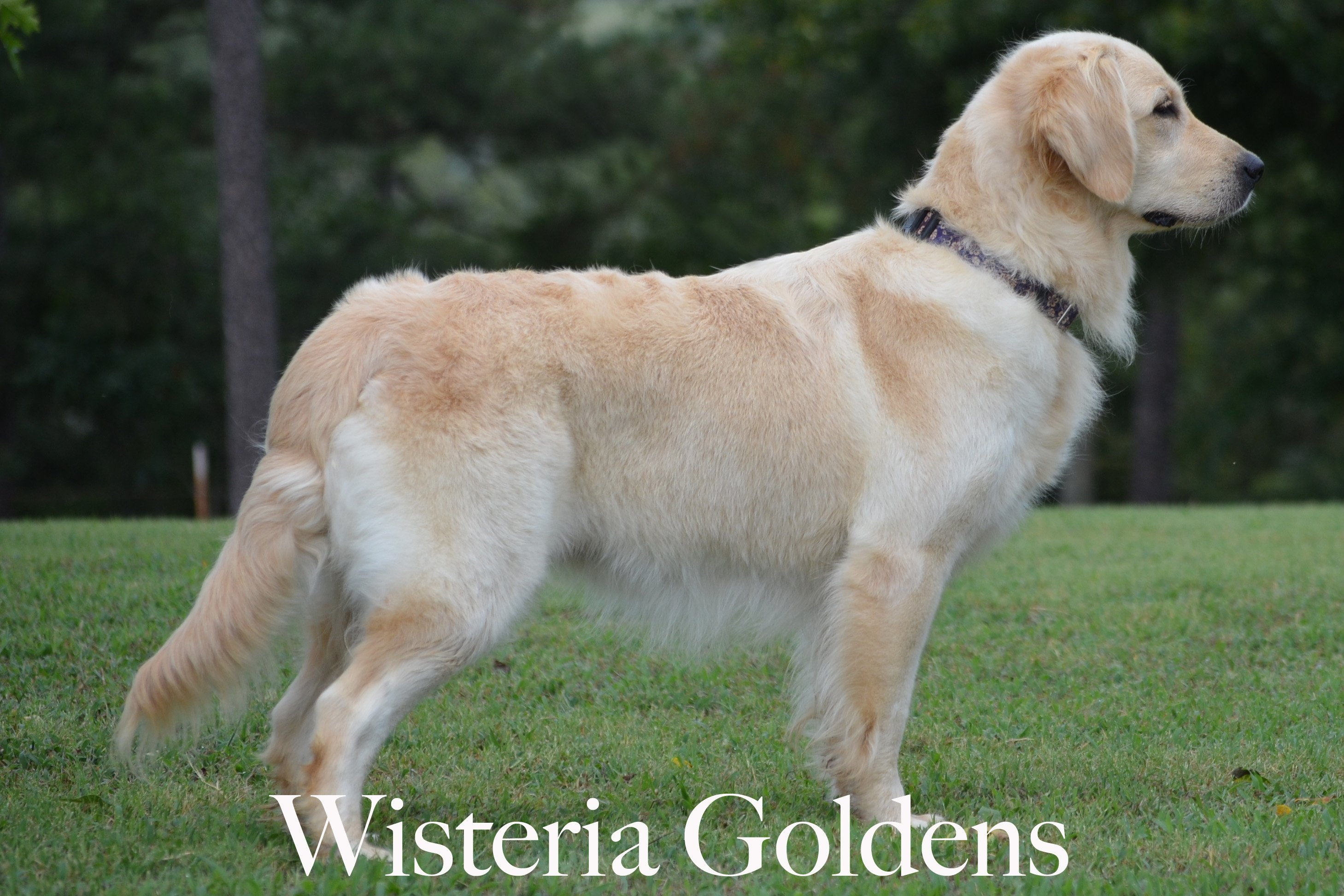 Honor_0155-full-english-creme-golden-retriever-wisteria-goldens