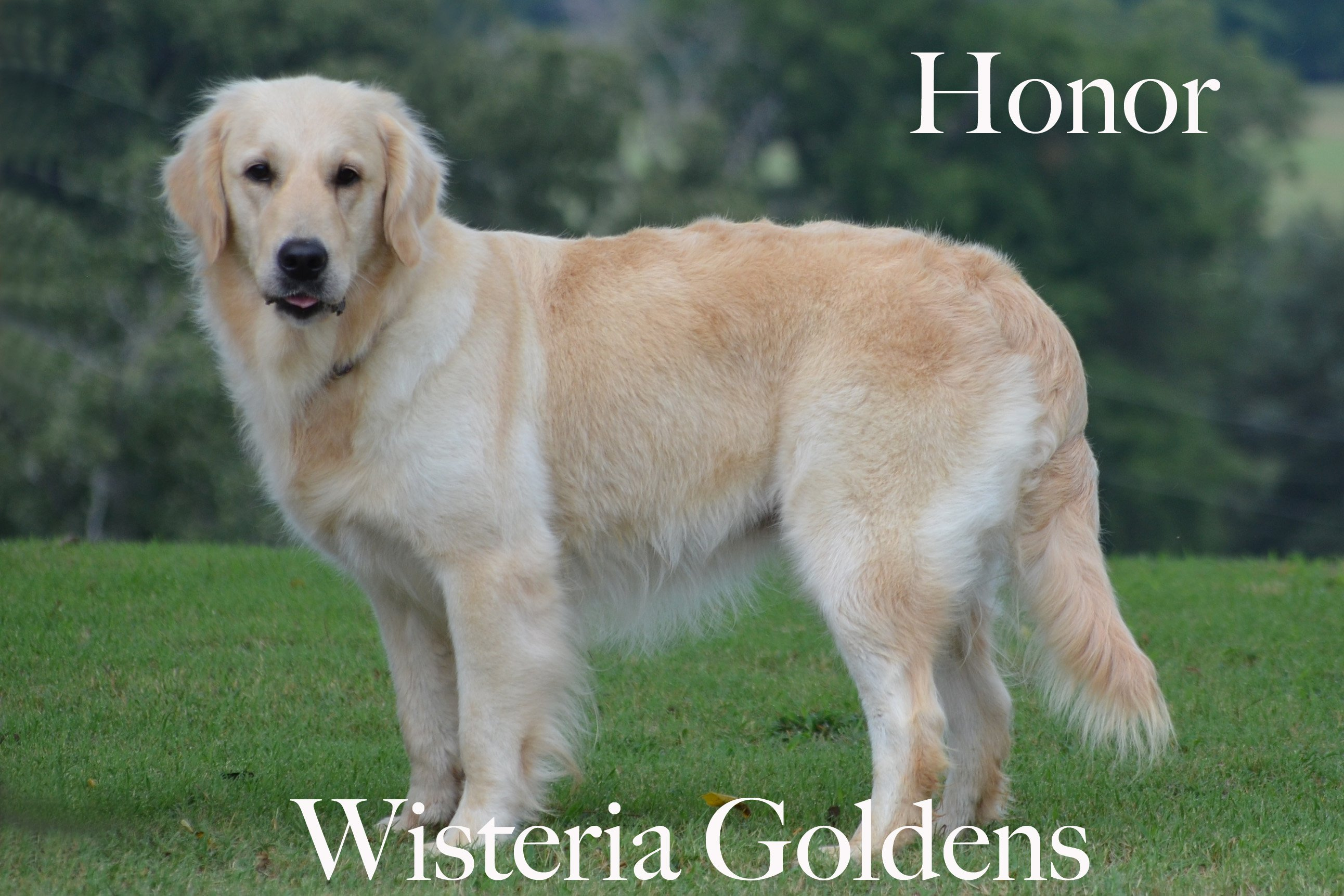 Honor_0164-full-english-creme-golden-retriever-wisteria-goldens