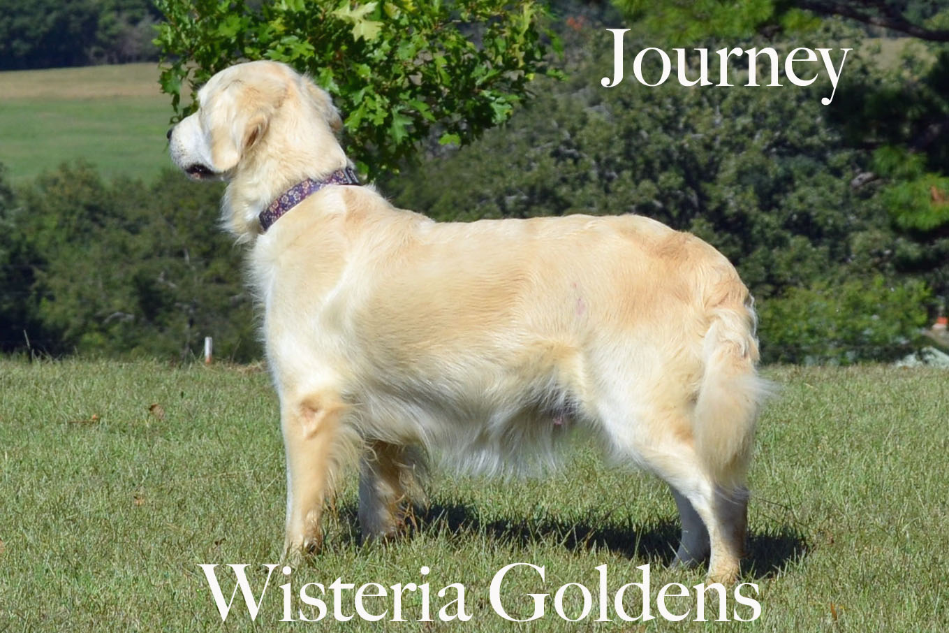 Journey_0010_full-english-creme-golden-retriever-wisteria-goldens