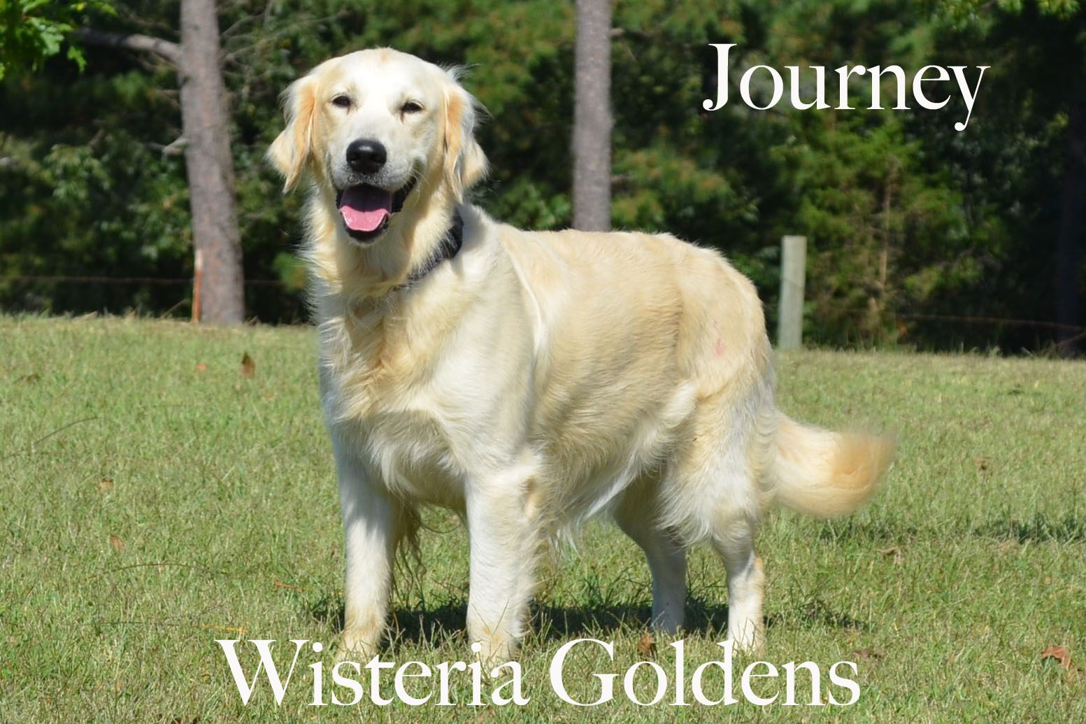 Journey_0022_full-english-creme-golden-retriever-wisteria-goldens