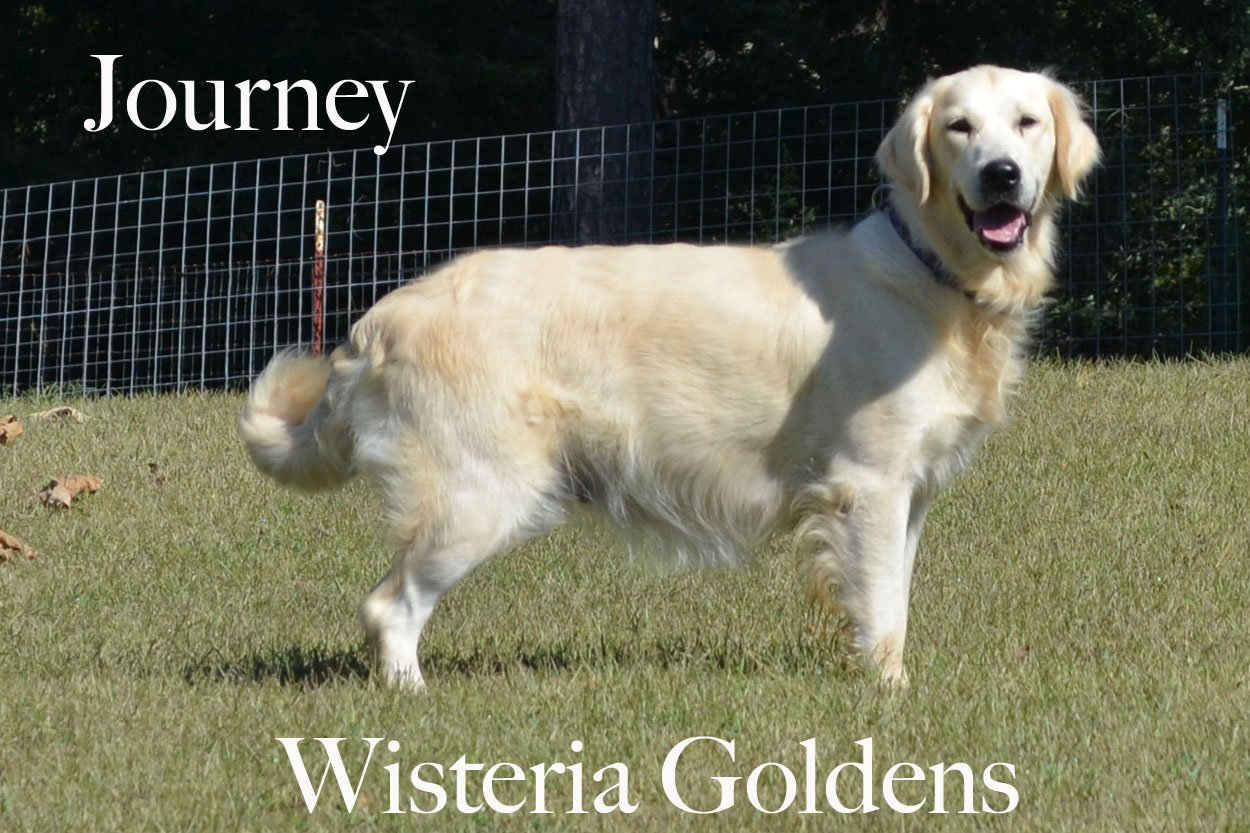 Journey_0039_full-english-creme-golden-retriever-wisteria-goldens