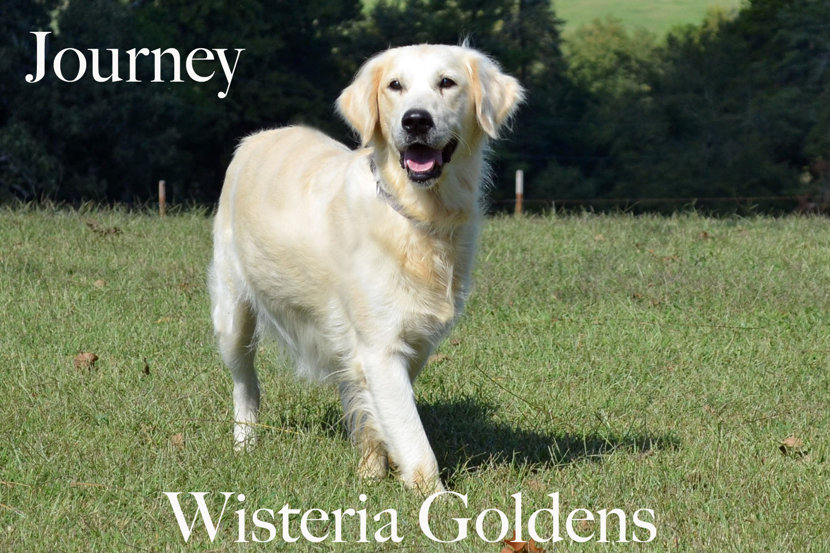 Journey_0056_full-english-creme-golden-retriever-wisteria-goldens