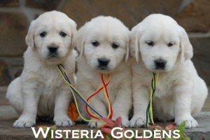 English Cream Golden Retriever Leadership Training Approach