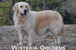 Mollie-0048-mollie-full-english-cream-golden-retriever-wisteria-goldens
