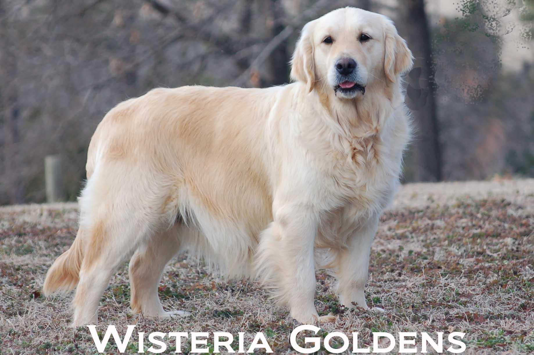 Mollie-0057-mollie-full-english-cream-golden-retriever-wisteria-goldens