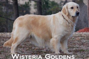 Mollie-0060-mollie-full-english-cream-golden-retriever-wisteria-goldens