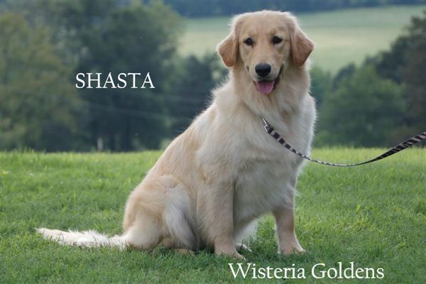 Shasta-2-shasta-half-english-creme-half-american-golden-retriever-wisteria-goldens