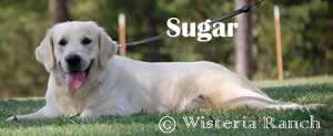Sugar-LL-sugar-full-english-creme-goldens-retriever-wisteria-goldens