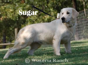 Sugar-R-sugar-full-english-creme-goldens-retriever-wisteria-goldens