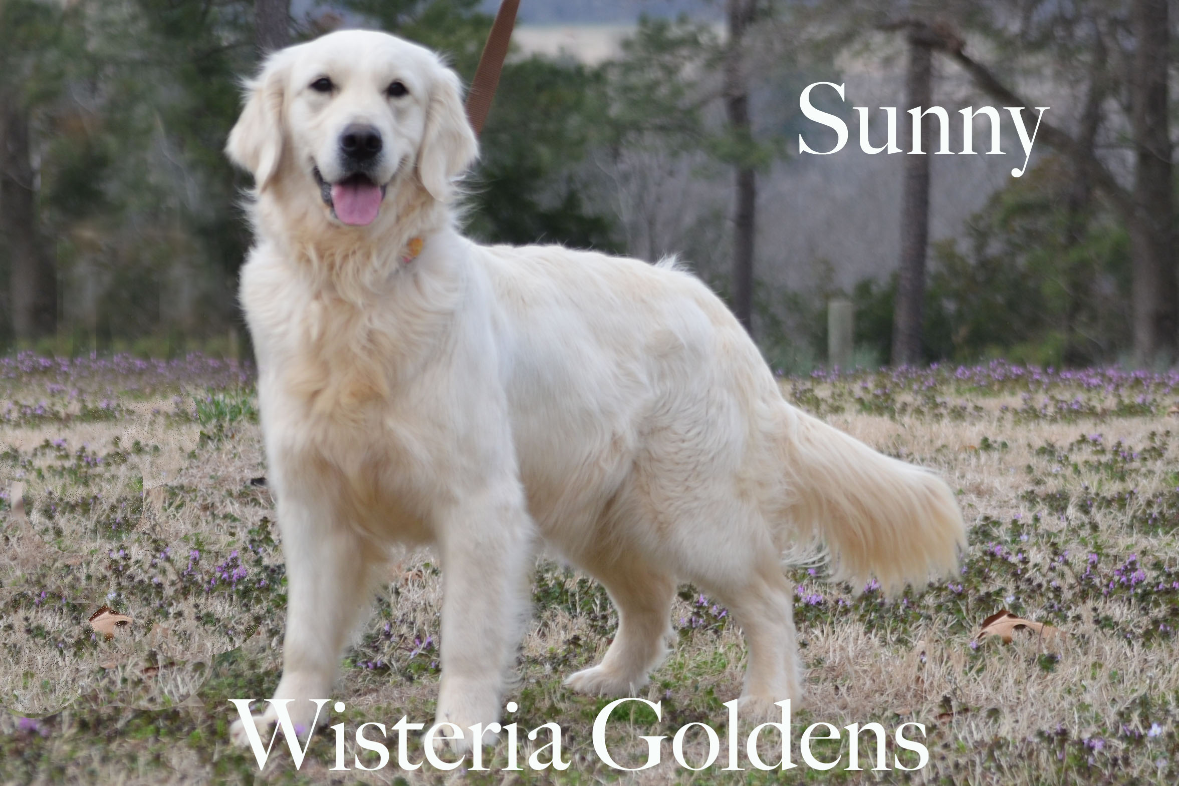 Sunny_0004-full-english-creme-golden-retriever-wisteria-goldens