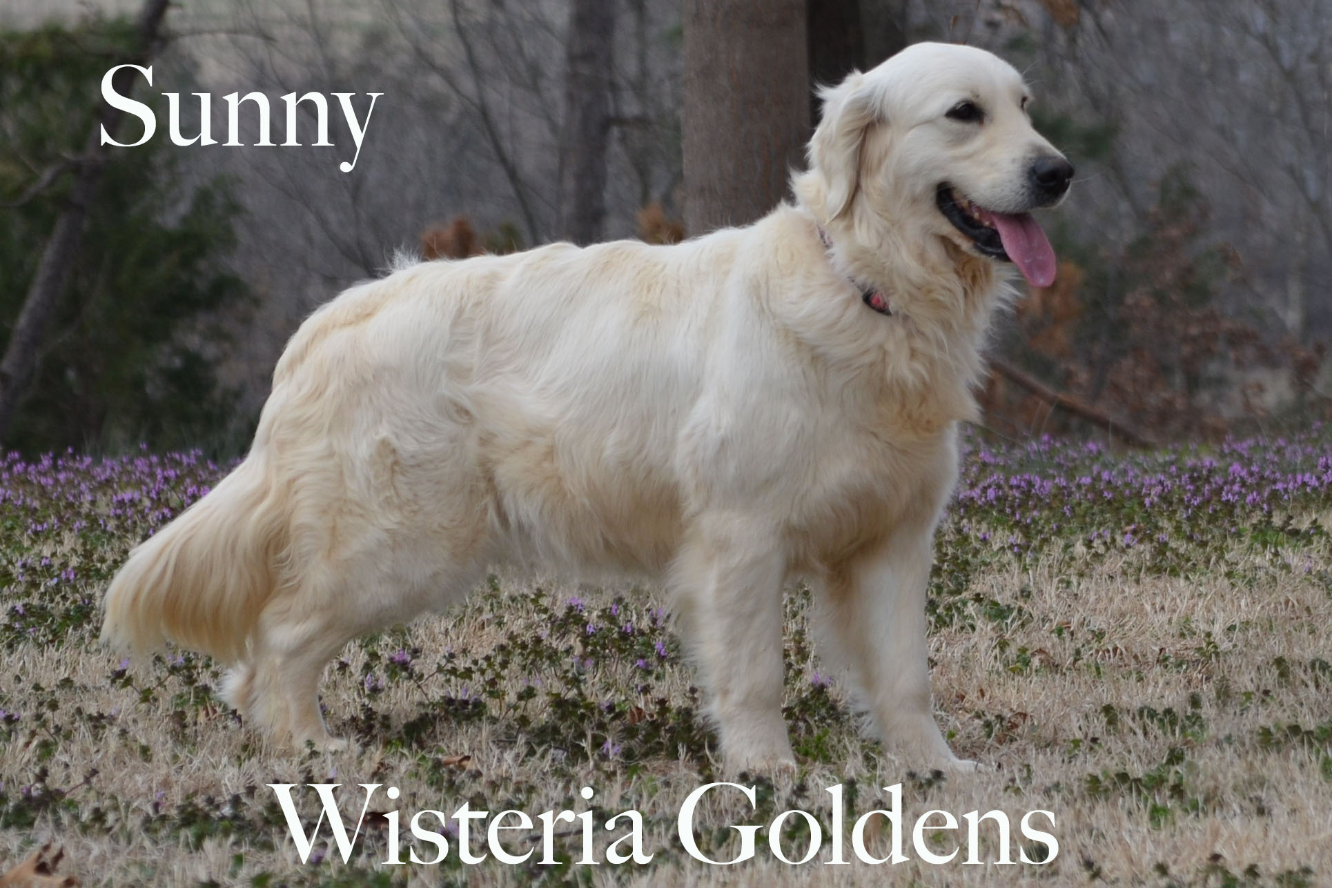 Sunny_0026-full-english-creme-golden-retriever-wisteria-goldens