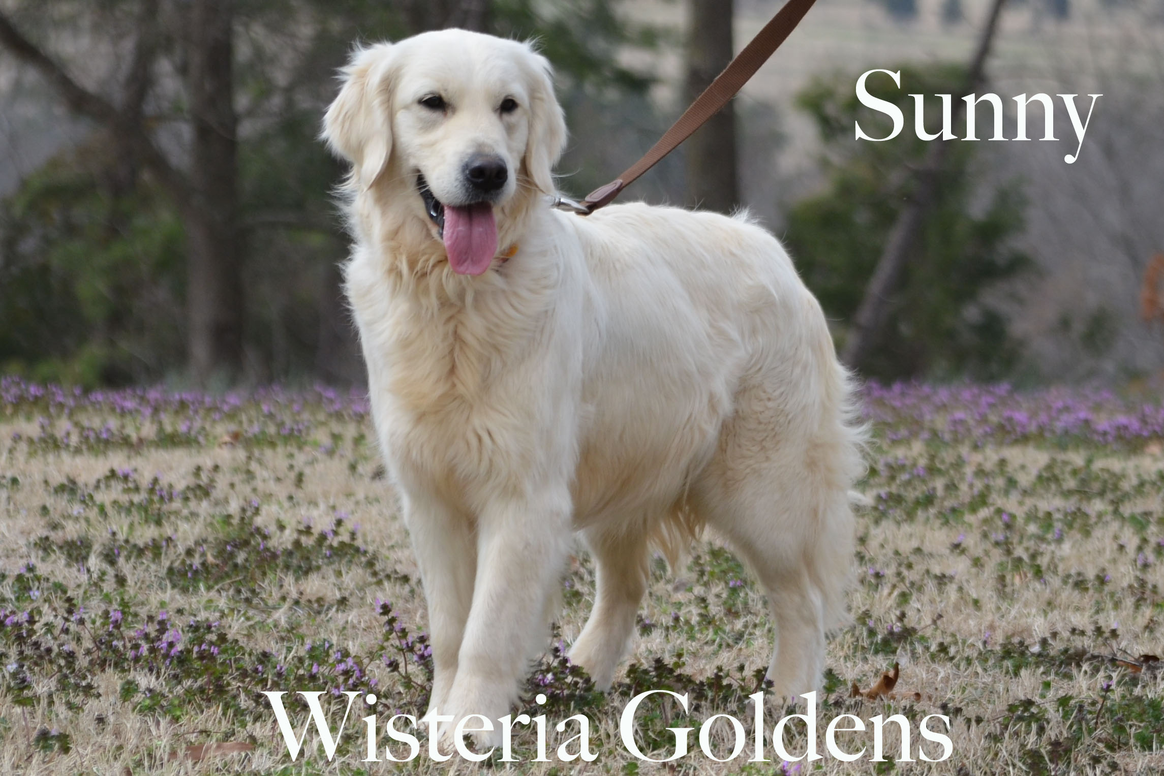 Sunny_0043-full-english-creme-golden-retriever-wisteria-goldens