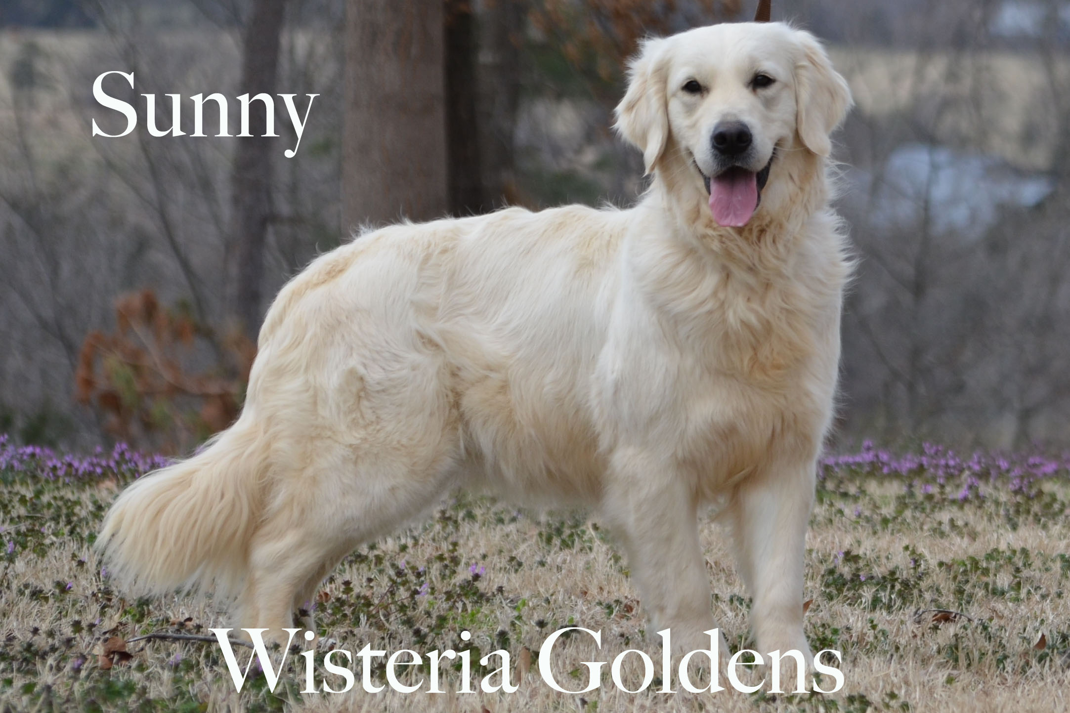 Sunny_0060-full-english-creme-golden-retriever-wisteria-goldens
