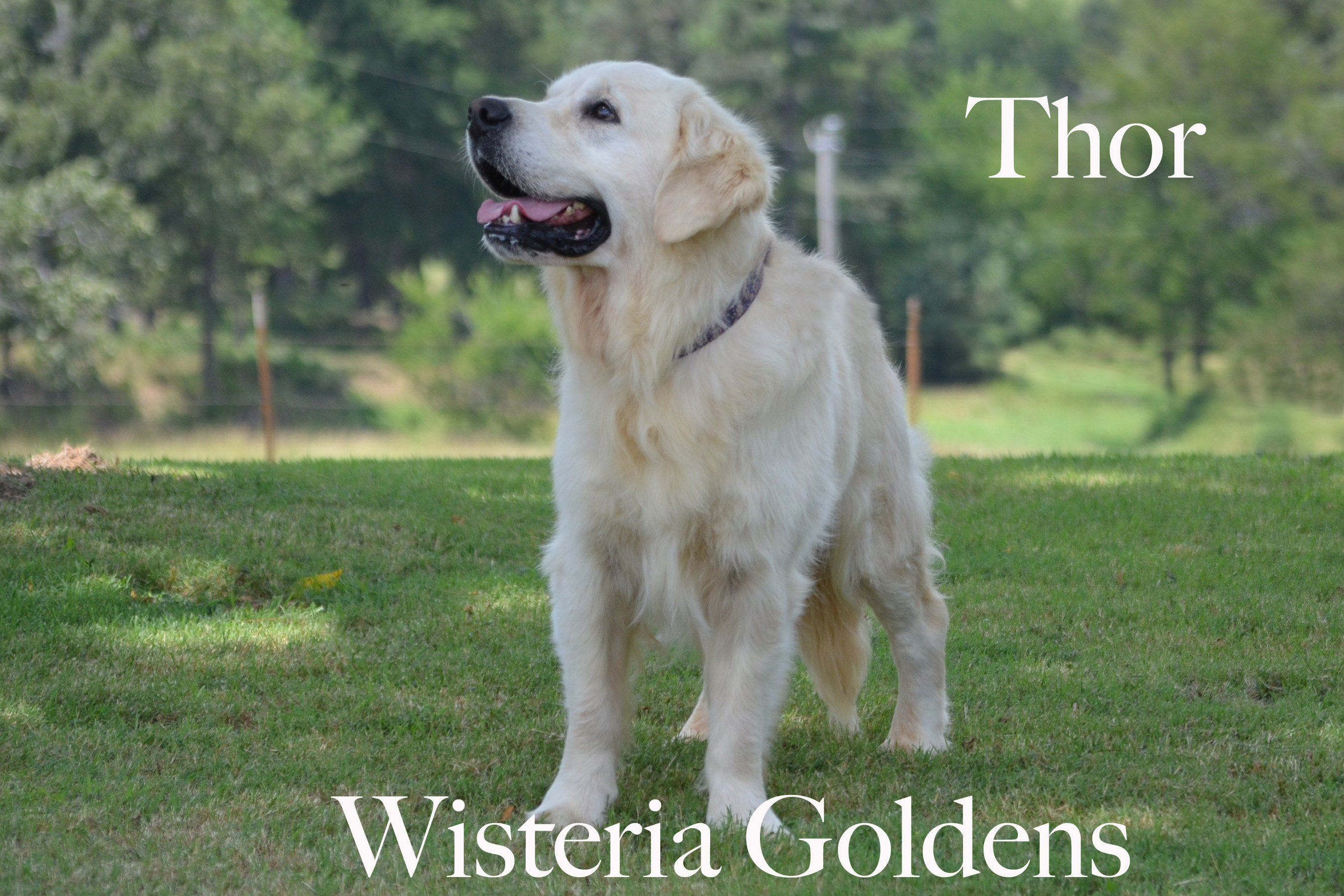 Thor-0454-thor-full-english-creme-golden-retrievers-wisteria-goldens