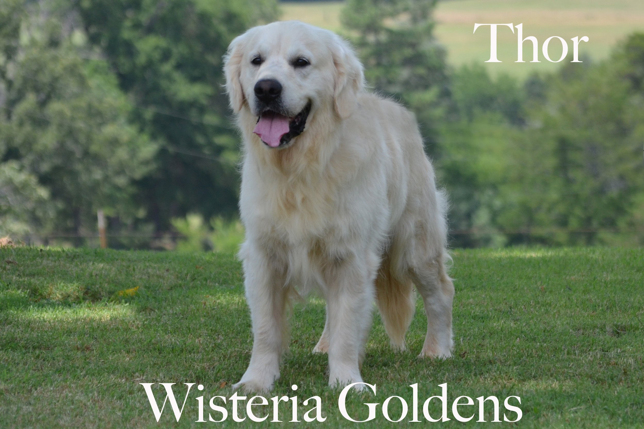 Thor-0459-thor-full-english-creme-golden-retrievers-wisteria-goldens