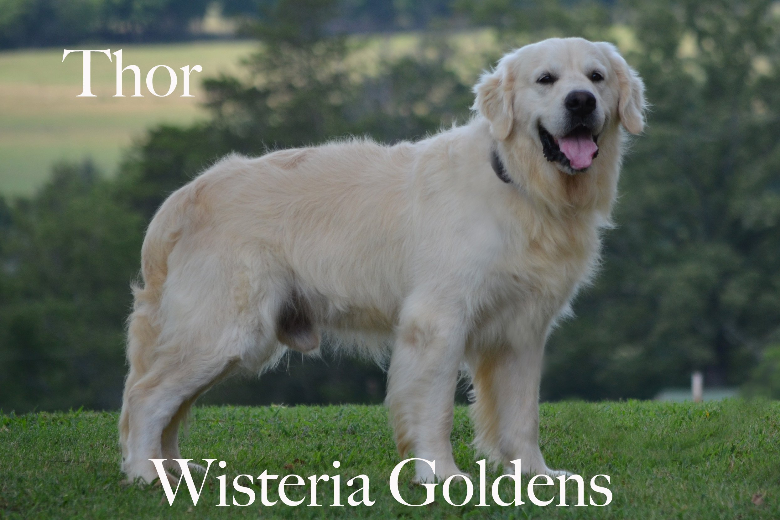 Thor-0464-thor-full-english-creme-golden-retrievers-wisteria-goldens