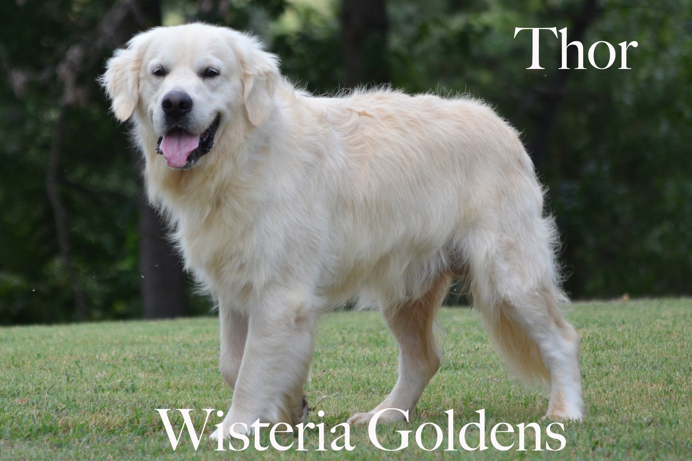 Thor-0465-thor-full-english-creme-golden-retrievers-wisteria-goldens