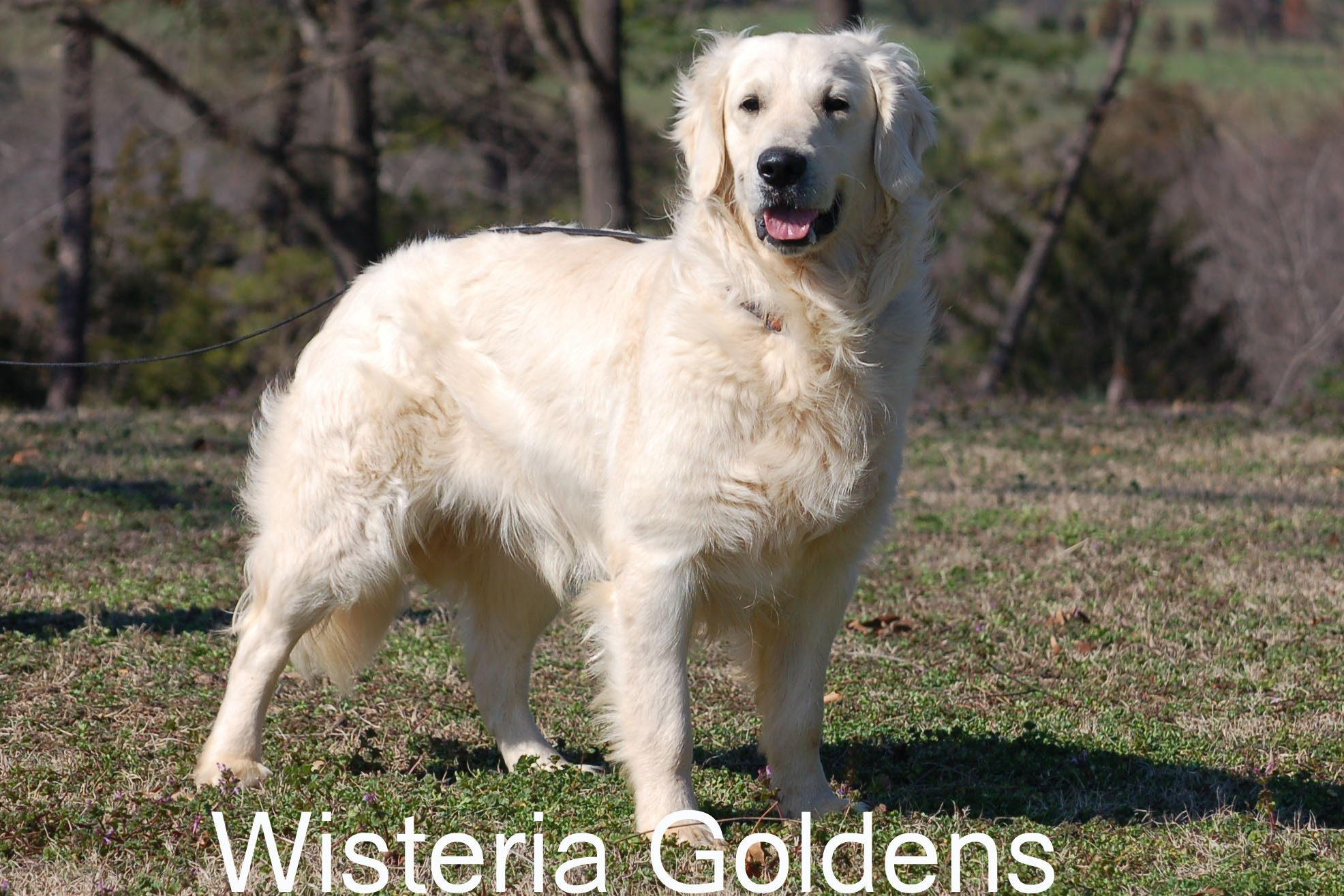 Tru_0510-Tru-full-english-cream-golden-retriever-wisteria-goldens.JPG