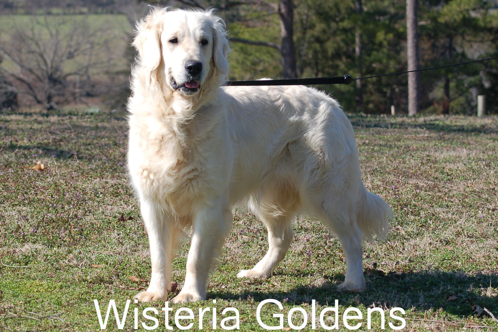 Tru_0512-Tru-full-english-cream-golden-retriever-wisteria-goldens.JPG