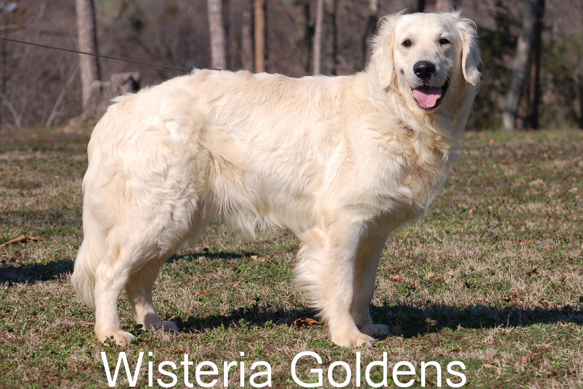 Pin English-cream-golden-retriever-puppies-in-tecumseh ...